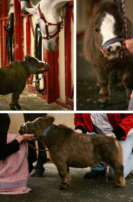 Những chú ngựa nhỏ nhất thế giới - 7