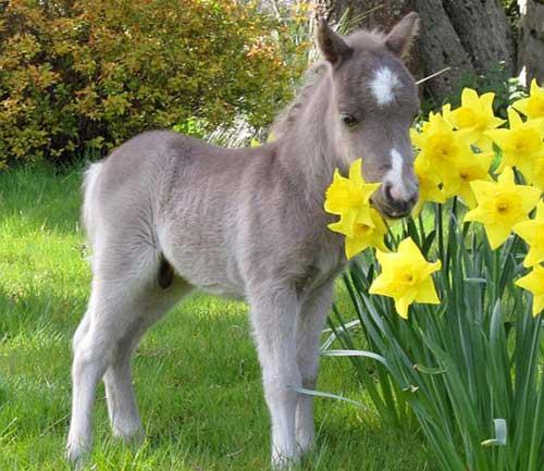 Những chú ngựa nhỏ nhất thế giới - 10