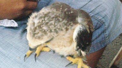 Săn chim 'độc': ở Sài thành muốn là có! - 2