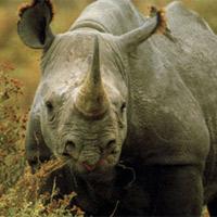 Còn bao nhiêu tê giác ở Việt Nam?
