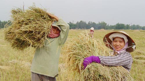 Người trồng lúa lãi chưa tới 30% - 2
