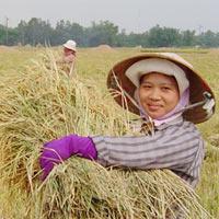 Người trồng lúa lãi chưa tới 30%