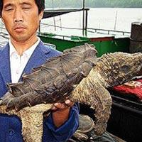 Chú rùa có chiếc mai cá sấu