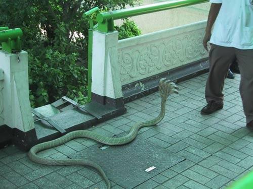 Phát hiện rắn 5 đầu ở Ấn Độ - 2