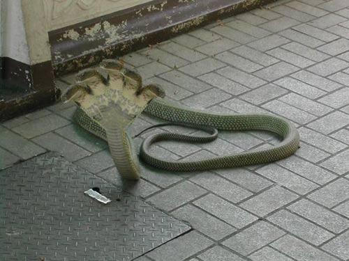 Phát hiện rắn 5 đầu ở Ấn Độ - 1