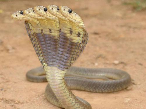 Phát hiện rắn 5 đầu ở Ấn Độ - 5