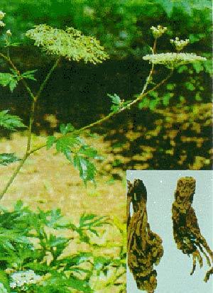 Một số thảo dược tốt cho bệnh trĩ và táo bón - 2