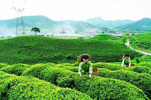 Giá chè xuất khẩu của Việt Nam tăng lên mức kỷ lục - 1