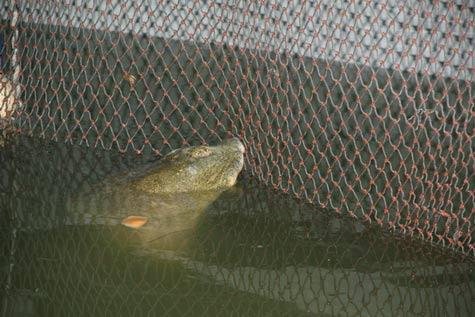 Xuất hiện hậu duệ của cụ Rùa ở Hồ Gươm? - 1