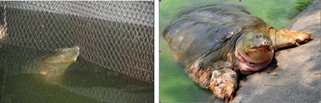 Xuất hiện hậu duệ của cụ Rùa ở Hồ Gươm? - 2