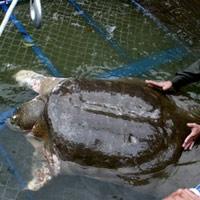 Xuất hiện hậu duệ của cụ Rùa ở Hồ Gươm?