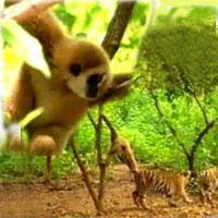 Video: Khỉ chọc ghẹo chúa rừng xanh