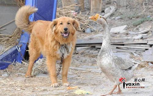 """""""Chuyện tình"""" của chó và ngỗng - 1"""