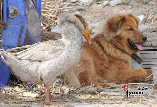 """""""Chuyện tình"""" của chó và ngỗng - 2"""