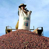 Giá cà phê lập mốc cao kỷ lục 50.000 đồng/kg