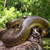Kì bí rắn khổng lồ bảo vệ rừng quốc gia
