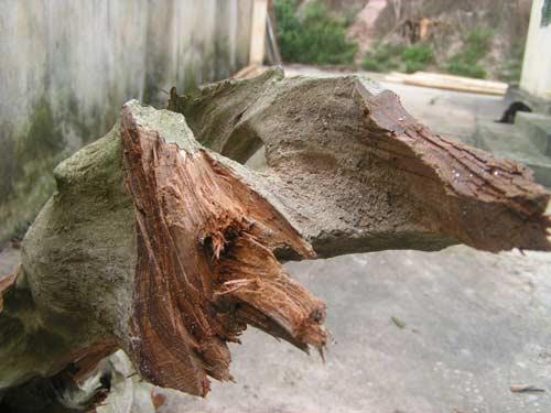 """Ly kì chuyện """"săn"""" gỗ Ngọc Am... ướp xác - 1"""