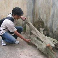 """Ly kì chuyện """"săn"""" gỗ Ngọc Am... ướp xác"""