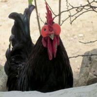 Đeo kính cho gà