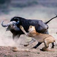 Video THẾ GIỚI ĐỘNG VẬT: Trâu rừng đánh sư tử