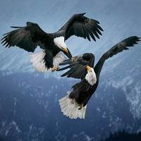 Video THẾ GIỚI ĐỘNG VẬT: Đại bàng không chiến