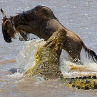 Video THẾ GIỚI ĐỘNG VẬT: Cá sấu sông Nin