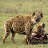Video THẾ GIỚI ĐỘNG VẬT: Linh cẩu cướp linh dương của báo