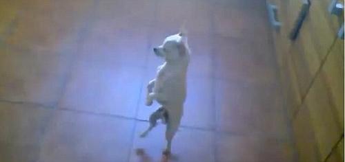 Video: Nhảy flamenco chuẩn như cún - 1