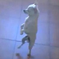 Video: Nhảy flamenco chuẩn như cún
