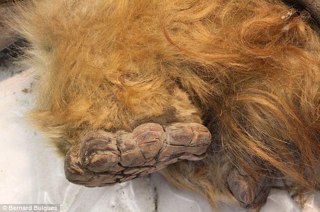 Phát hiện xác ướp voi ma mút 10.000 tuổi - 3