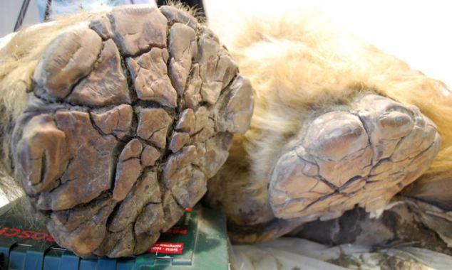 Phát hiện xác ướp voi ma mút 10.000 tuổi - 4