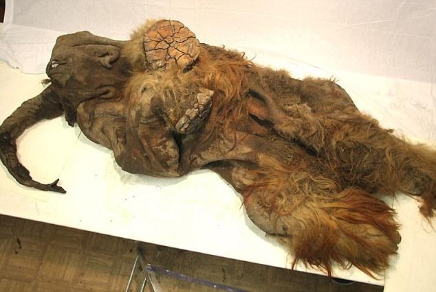 Phát hiện xác ướp voi ma mút 10.000 tuổi - 5