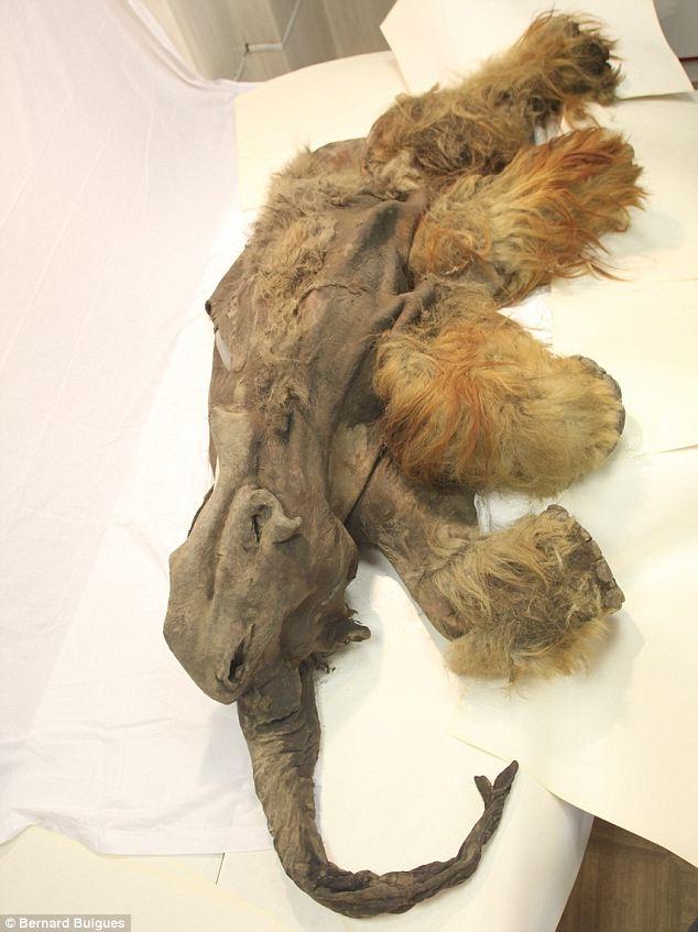 Phát hiện xác ướp voi ma mút 10.000 tuổi - 6