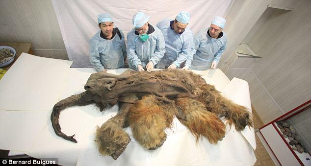 Phát hiện xác ướp voi ma mút 10.000 tuổi - 7