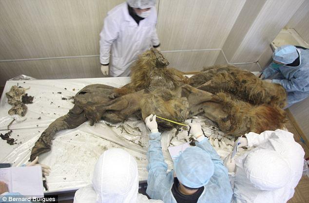 Phát hiện xác ướp voi ma mút 10.000 tuổi - 8