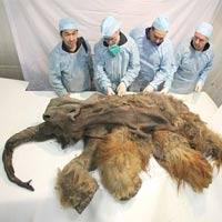 Phát hiện xác ướp voi ma mút 10.000 tuổi