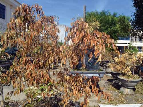 Hàng loạt cây chết khô vì nhiễm khí độc? - 1