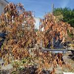 Tin tức trong ngày - Hàng loạt cây chết khô vì nhiễm khí độc?