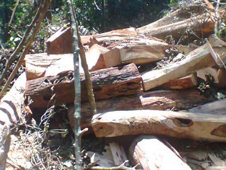 Vụ gỗ sưa nghìn tỷ: Kẻ khóc, người cười - 1