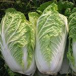 Tin tức trong ngày - Dân sợ cải thảo chứa chất ướp xác
