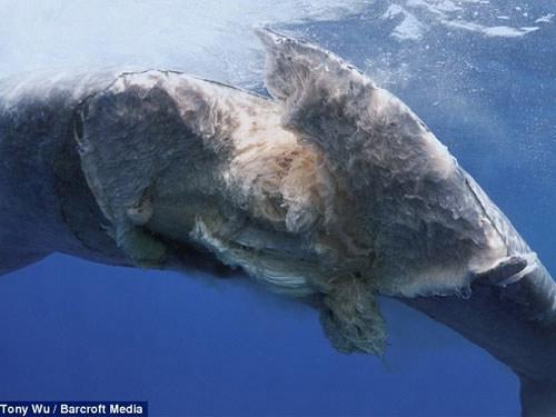 """Cá voi bị tàu """"cắt"""" đứt lìa ở Ấn Độ Dương - 2"""