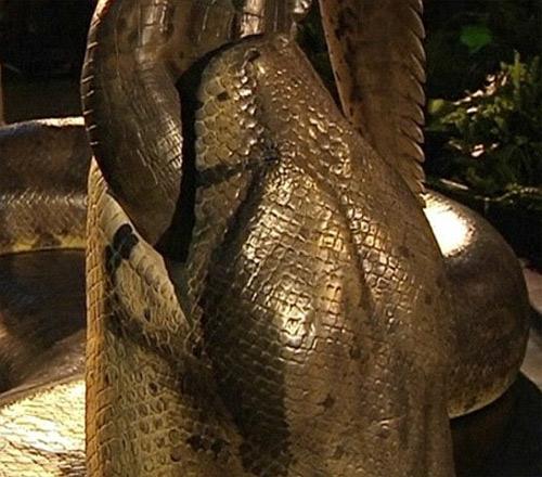 Loài rắn nặng hơn 1 tấn - 4