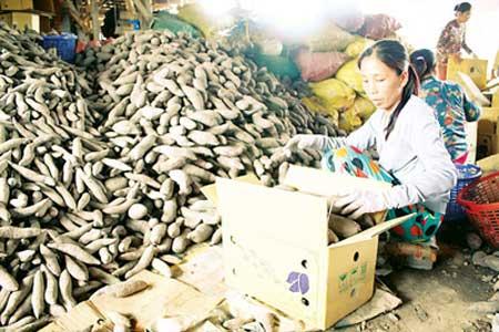 Thương lái Trung Quốc ép giá khoai - 1