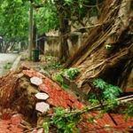 Tin tức trong ngày - Lào Cai: Lốc xoáy, hàng trăm cây xanh bật gốc