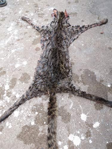 Báo đốm bị xe cán chết trên quốc lộ - 1