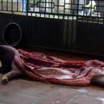 Tin tức trong ngày - Đường dây tiêu thụ lợn chết dịch (P2)