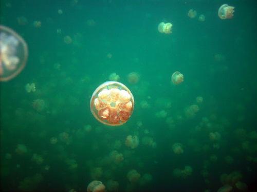 Hồ sứa nước mặn tuyệt đẹp ở Palau - 2