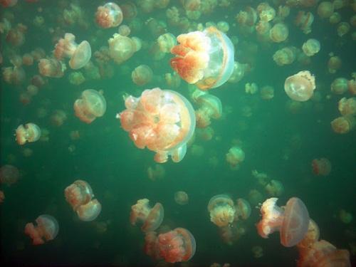 Hồ sứa nước mặn tuyệt đẹp ở Palau - 4