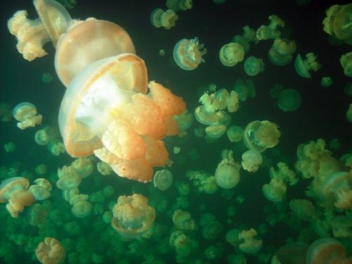 Hồ sứa nước mặn tuyệt đẹp ở Palau - 5
