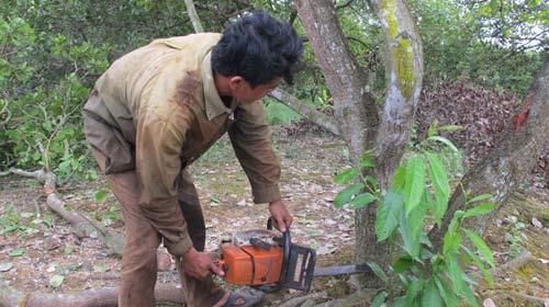 Chặt nát vườn điều để trồng cao su - 1